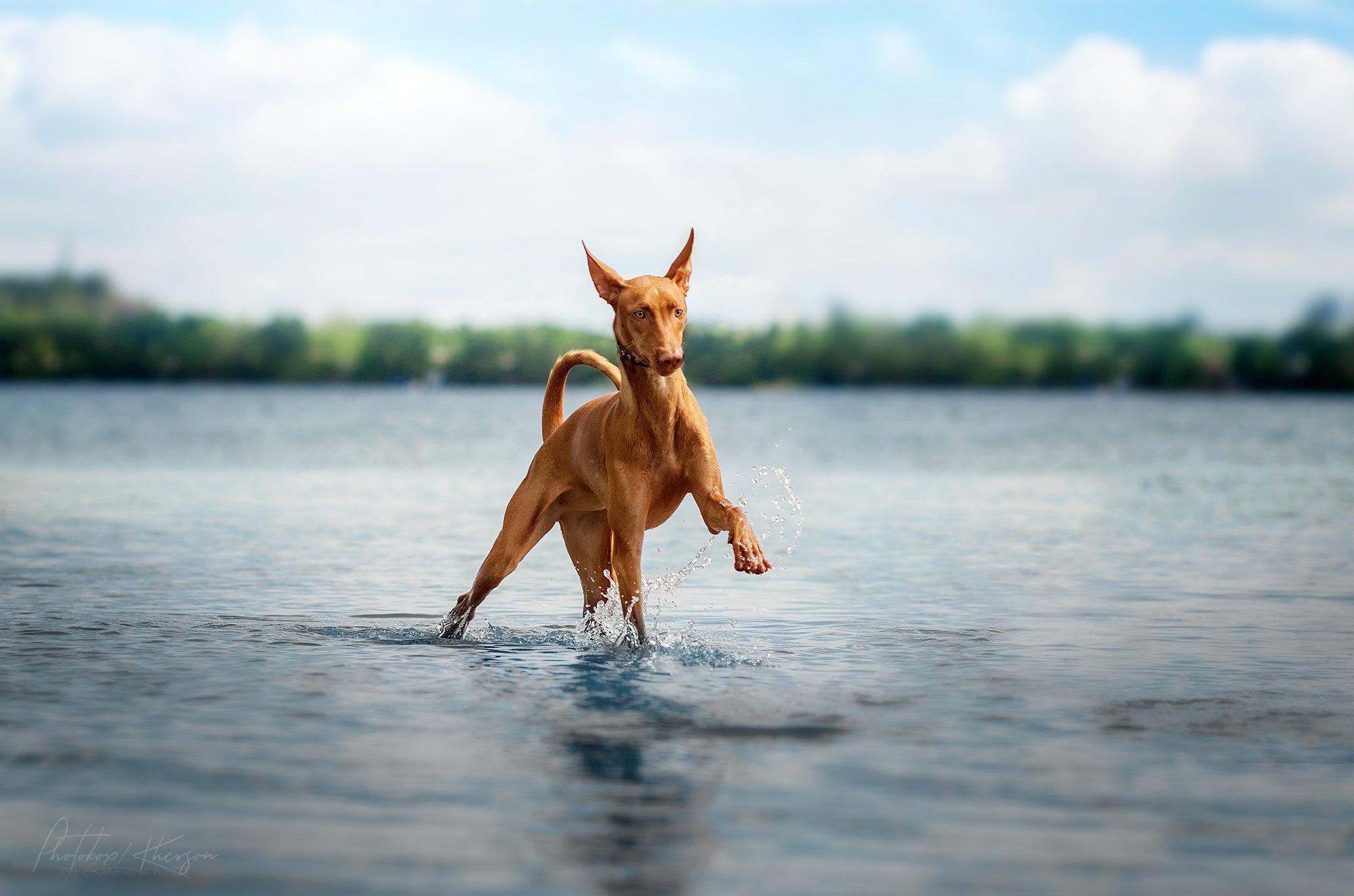 собака, анималистика, река, природа, движение, Кикоть Екатерина