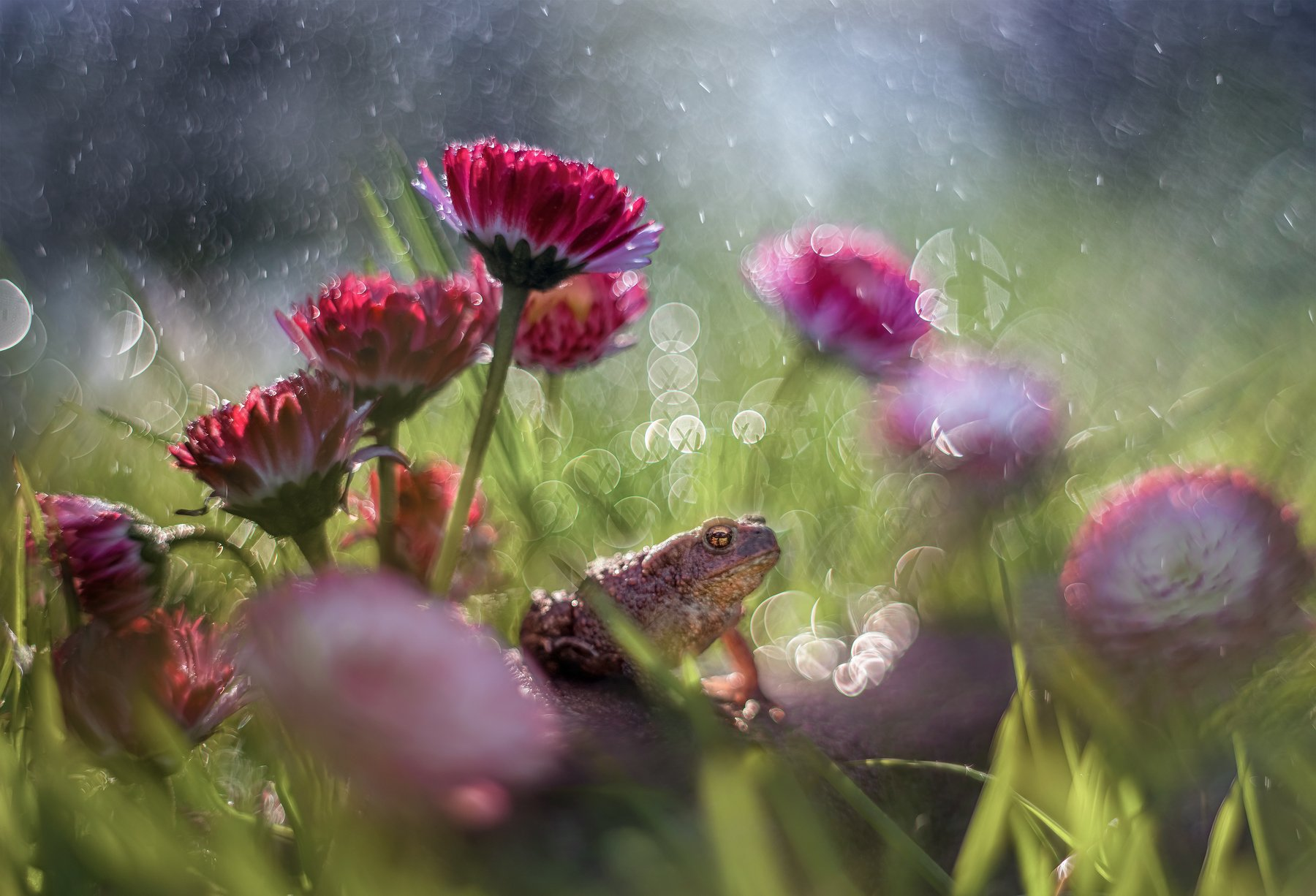 лягушка цветы боке макро красота маргаритки трава, Третьякова Анастасия