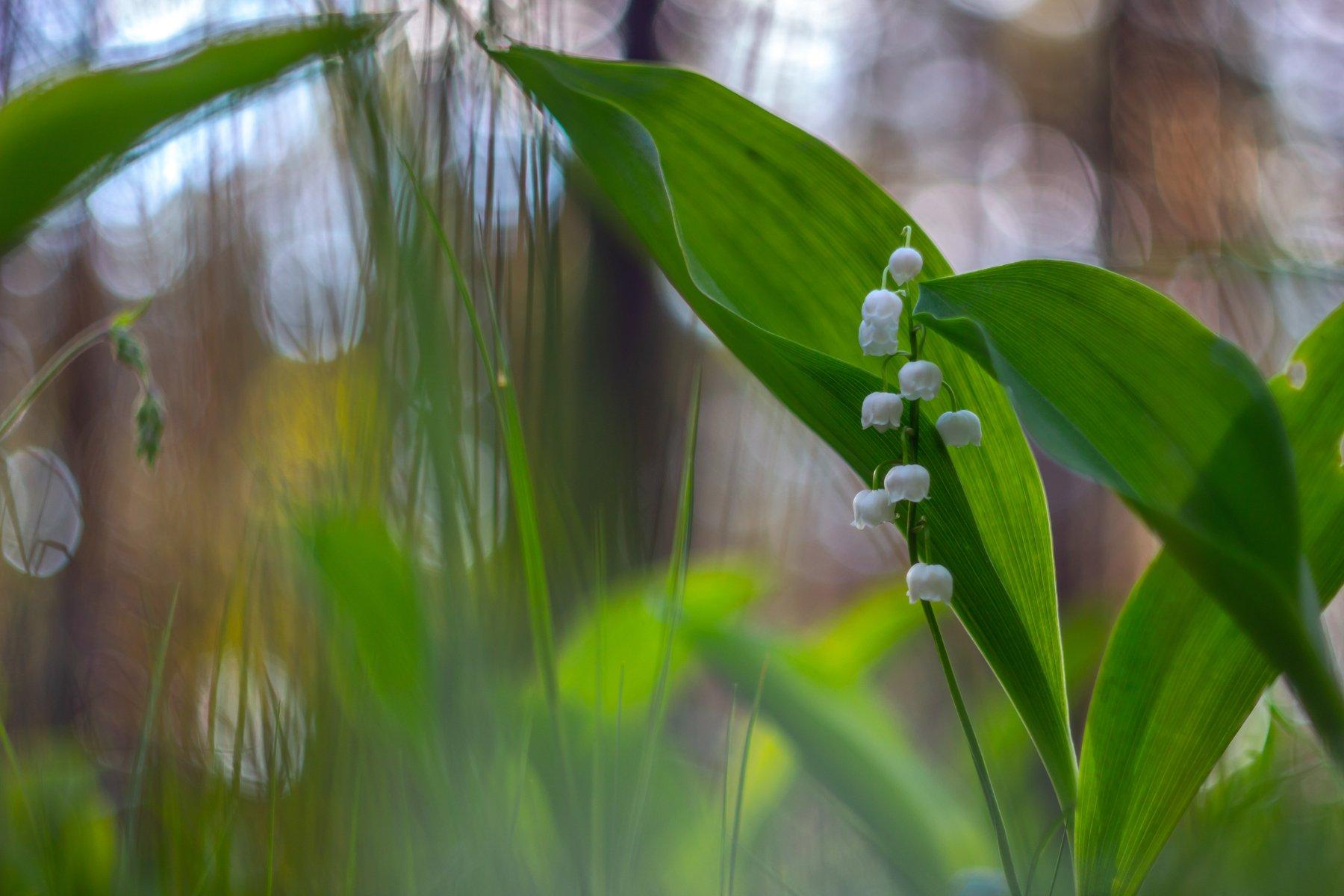 цветы, весна, ландыши, лес, Востриков Руслан
