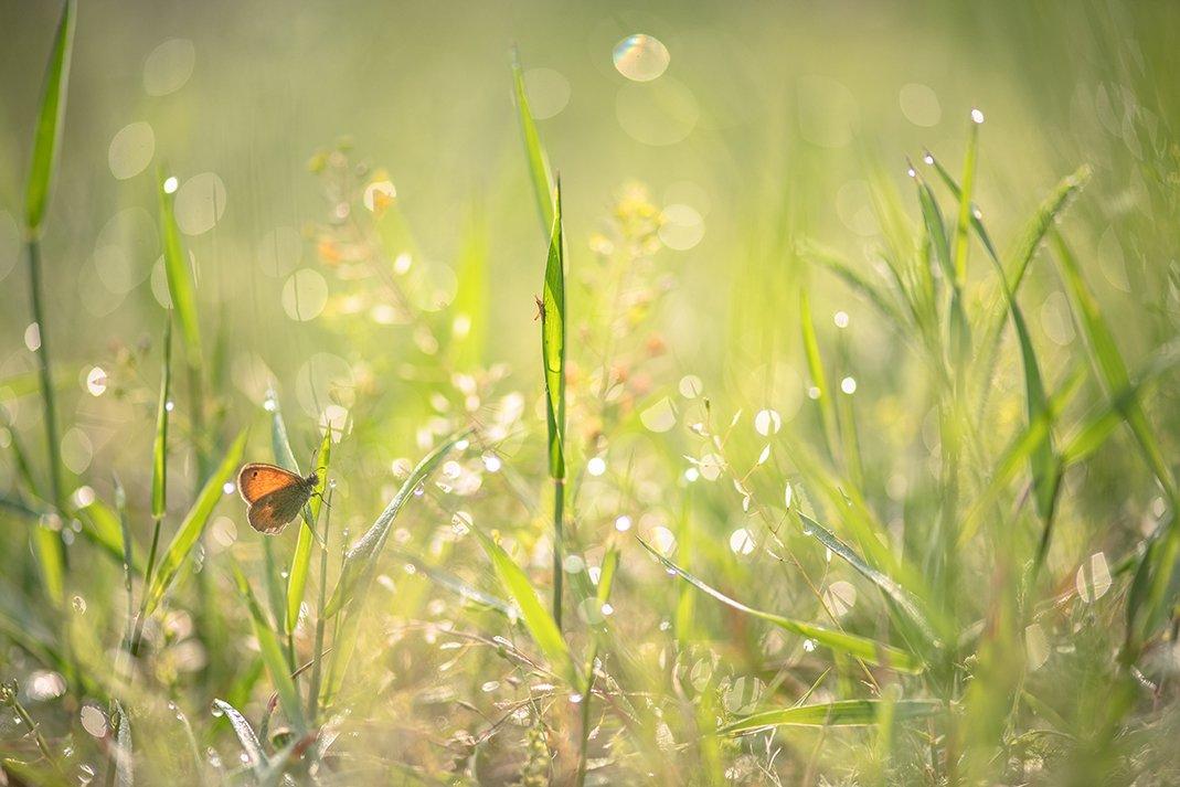 лето, позитив, голубянка, кузнечик молодой, насекомыши, роса, утро, свет, цвет, добро, воронеж, геннадий мещеряков, Геннадий Мещеряков