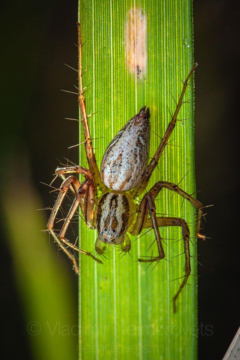 lynx spider, spider, Oxyopes lineatus, female, Northwestern Caucasus, Krasnodar Territory, Владимир Нейморовец