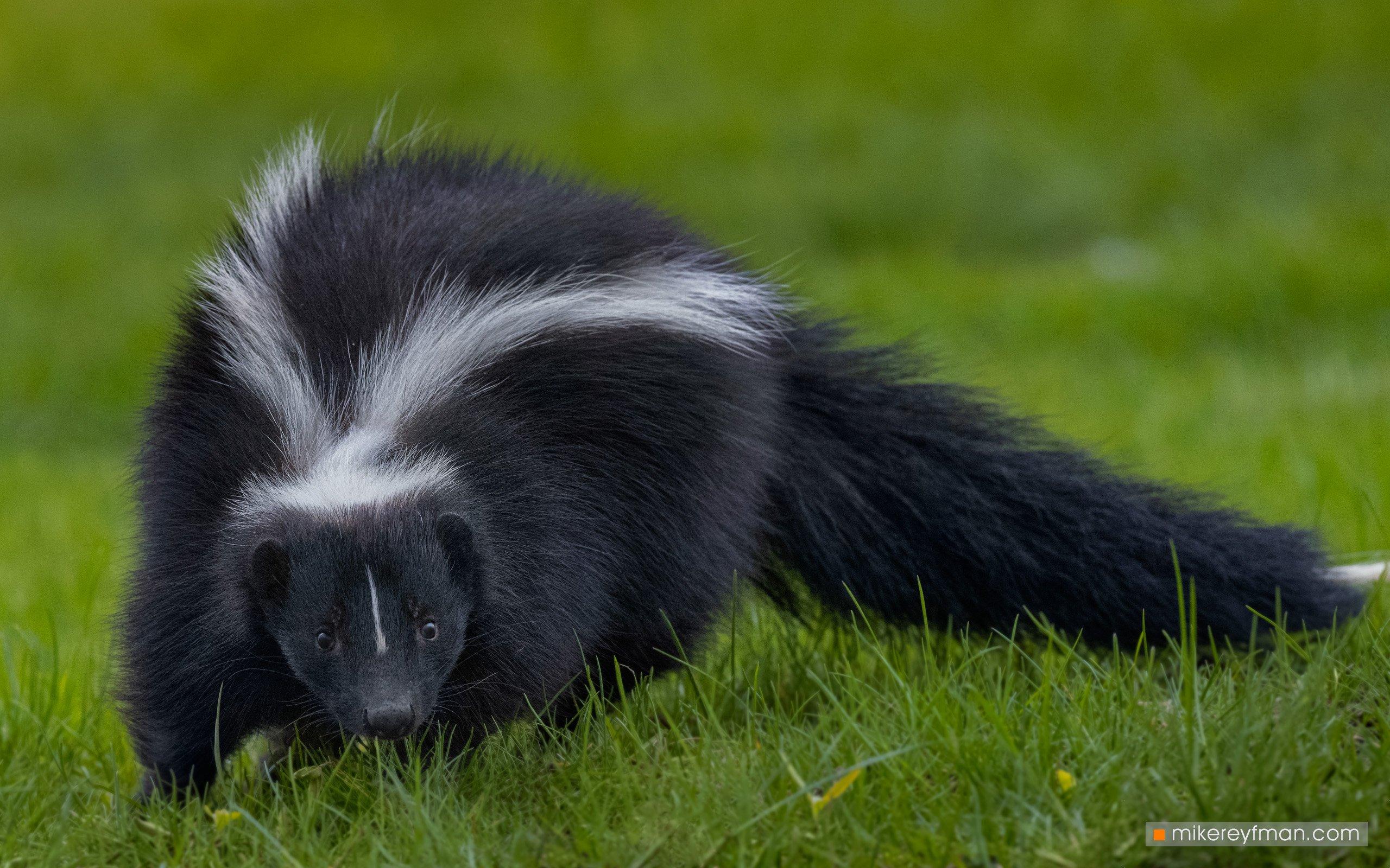 skunk, local wildlife, arlington club, wheeling, illinois, Майк Рейфман