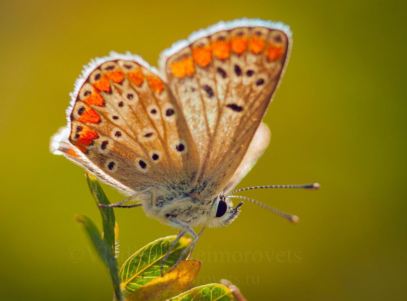 Lycaenidae, gossamer-winged butterfly, butterfly, insect, lepidoptera, summer, sunlight, Russia, Northwestern Caucasus, Krasnodar Territory, Ilsky, Владимир Нейморовец