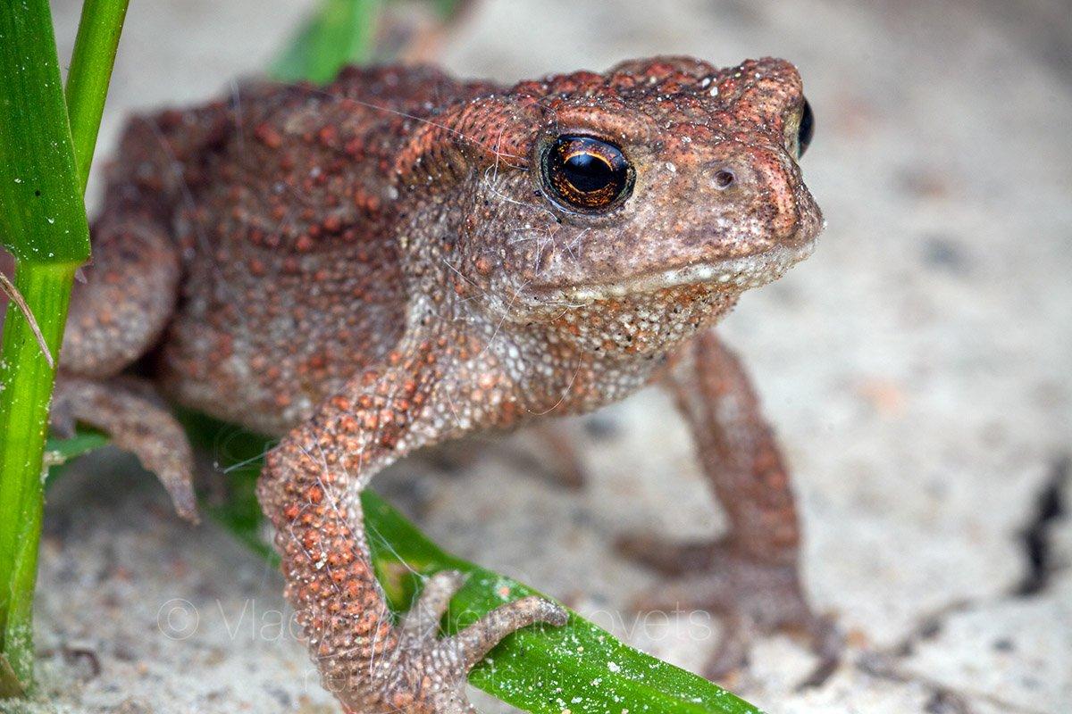 common toad, European toad, baby, under-yearling, Pudomyagi, Gatchina district, Leningrad Region, Russia, Владимир Нейморовец