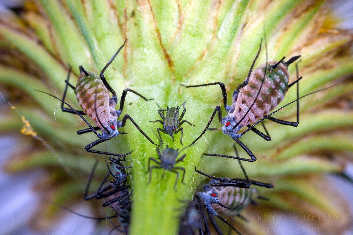 Macrosiphoniella tanacetaria, tansy aphid, aphid, apterae, Leucanthemum, Pudomyagi, Gatchina district, Leningrad Region, Russia, Владимир Нейморовец
